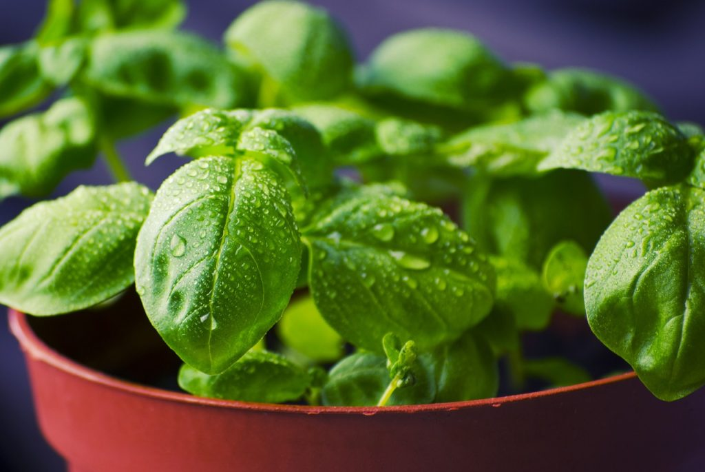 basil-potted-plant-watered-fresh